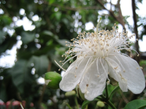 Guava - Flower 01
